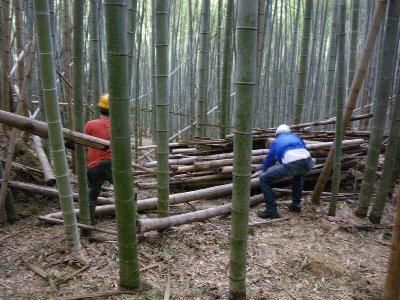 大変な倒竹の整理作業