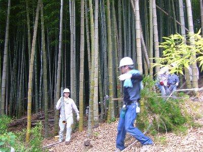 竹林から運び出す伐採した竹