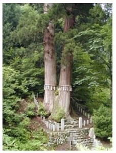 花脊三本杉