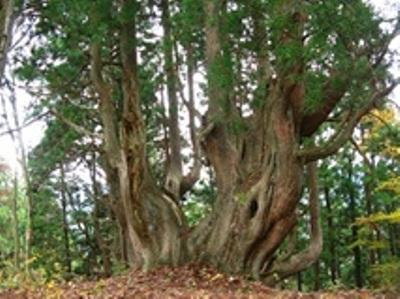 樹齢1000年超の伏条台杉