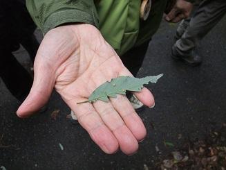 アラカシの葉の恐竜